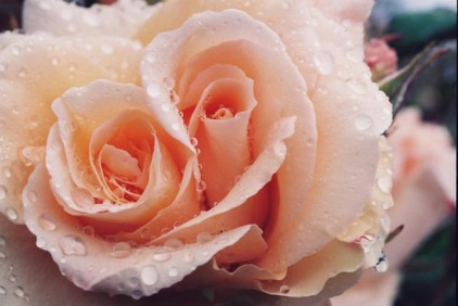 Roses 29