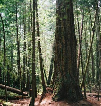 Tall Trees 23