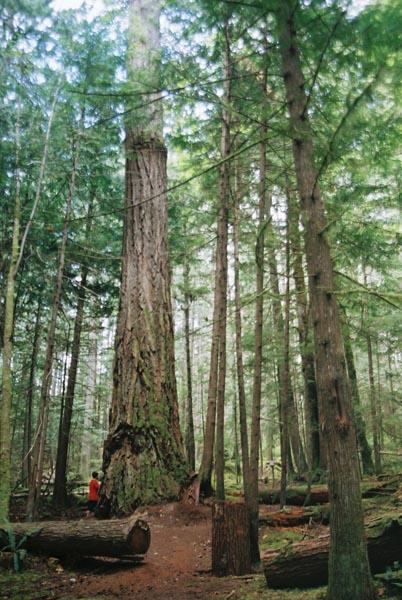 Tall Trees 24