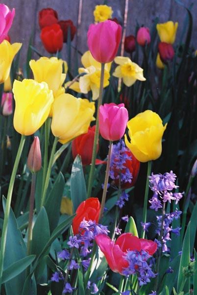 Tulips 13