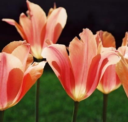 Tulips 16