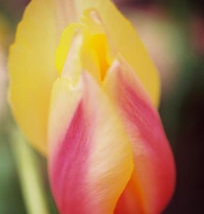Tulips 22