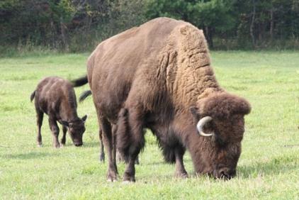 Wolfe Horse Buffalo Elk 29
