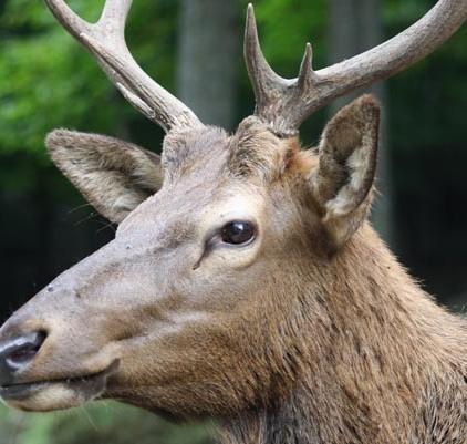 Wolfe Horse Buffalo Elk 30