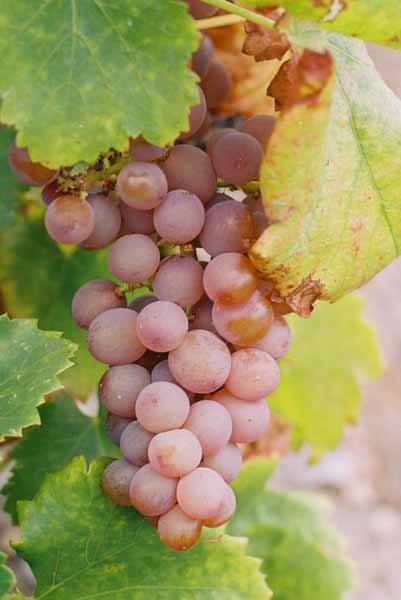 Grapes and Wine 481