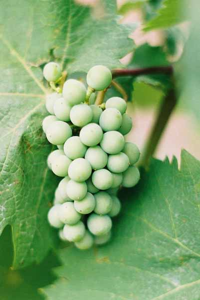 Grapes and Wine 482