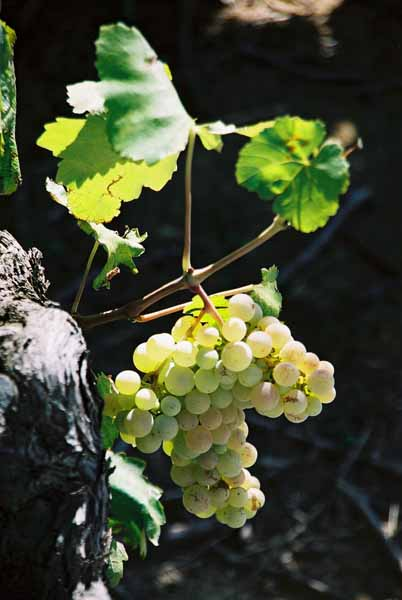 Grapes and Wine 483