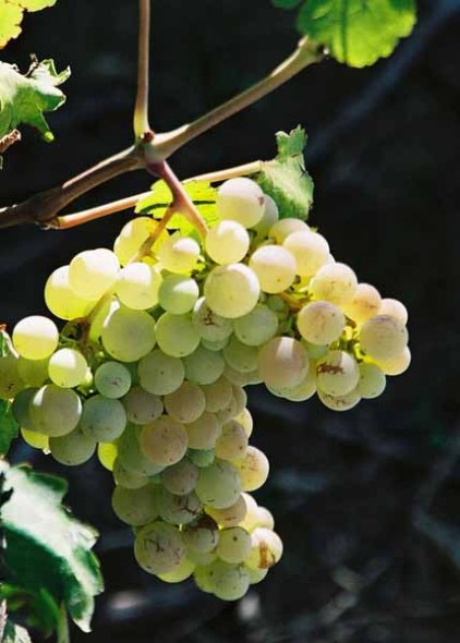 Grapes and Wine 484