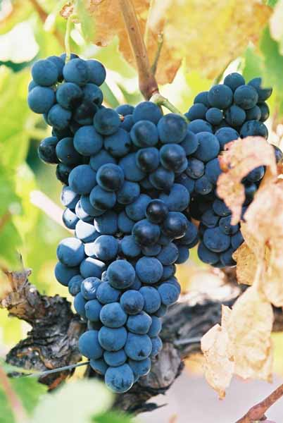 Grapes and Wine 485