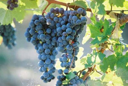 Grapes and Wine 487