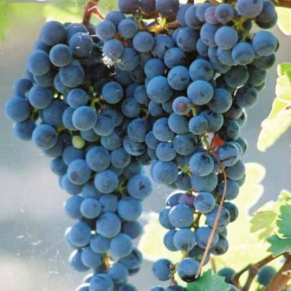 Grapes and Wine 488