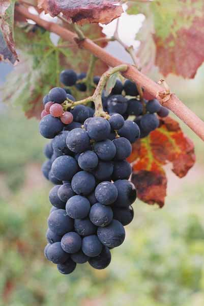 Grapes and Wine 489