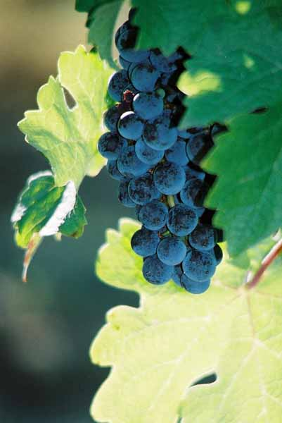 Grapes and Wine 490