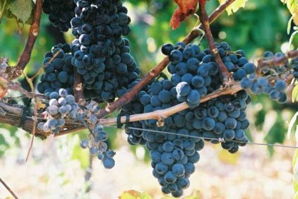 Grapes and Wine 492