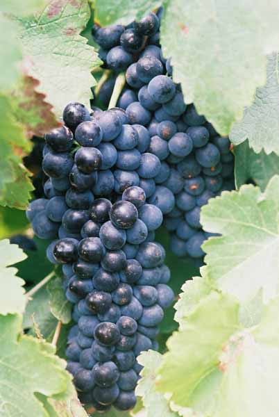 Grapes and Wine 493