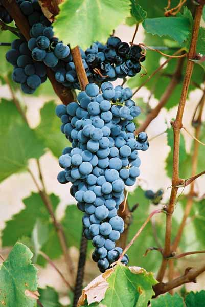 Grapes and Wine 494
