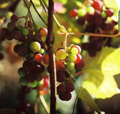 Grapes and Wine 496