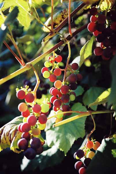 Grapes and Wine 497