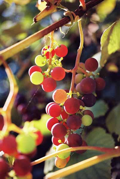 Grapes and Wine 498