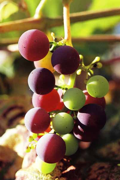 Grapes and Wine 499