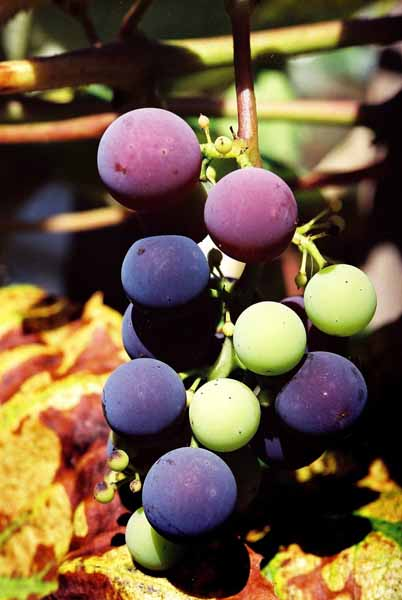 Grapes and Wine 501