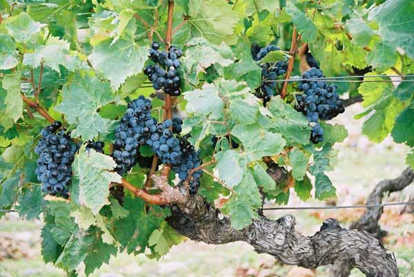 Grapes and Wine 502