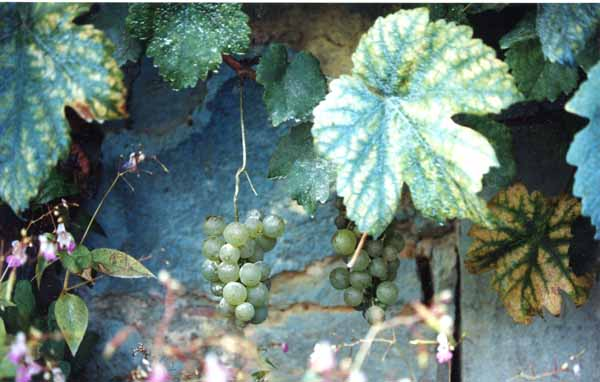Grapes and Wine 508