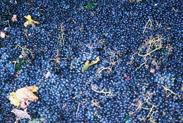 Grapes and Wine 509