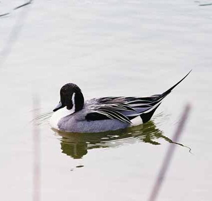 Ducks 949