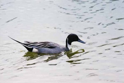 Ducks 951