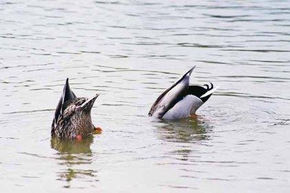 Ducks 953