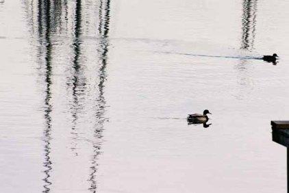 Ducks 954