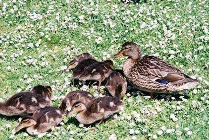 Ducks 956