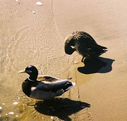 Ducks 957