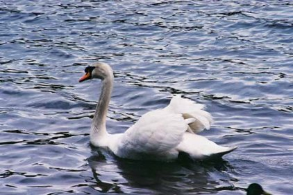 Swans 958