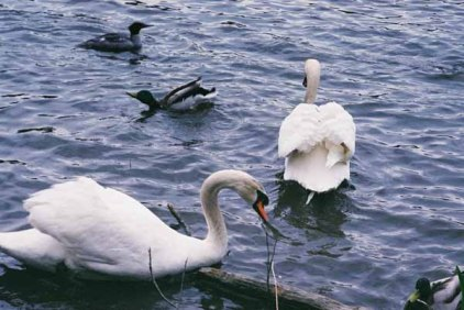Swans959