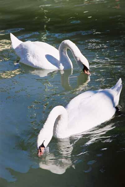 Swans 960