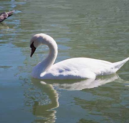 Swans 961