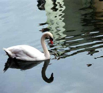 Swans 962