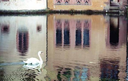 Swans 964