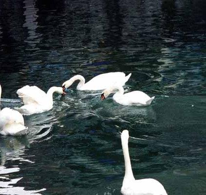 Swans 963