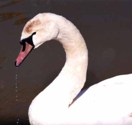 Swans 965