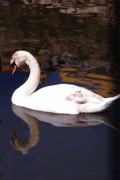 Swans 966