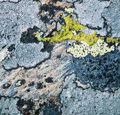 Lichen 1060