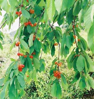 Fruit 1070