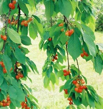 Fruit 1071