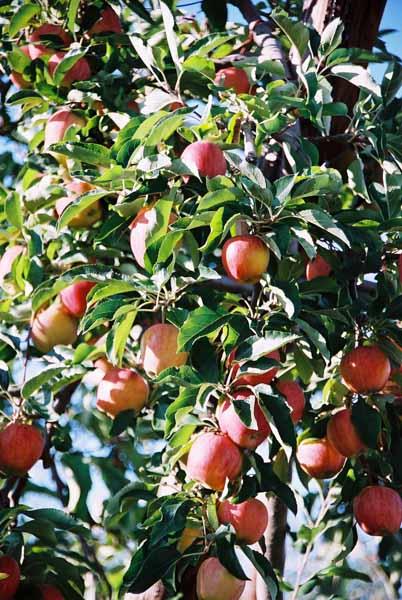 Fruit 1073