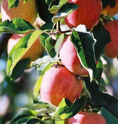 Fruit 1074