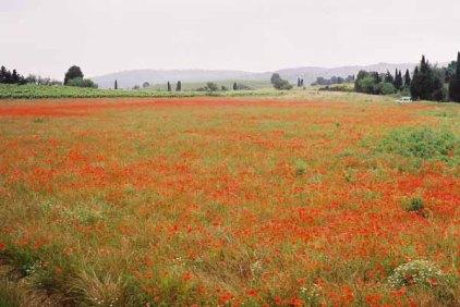 Poppy Field 1075