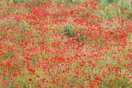 Poppy Field 1076